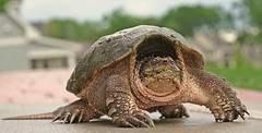 Snapping Turtle (3rd foundation) Tags: canon snapping turtle 3rdfoundation bokehsonice