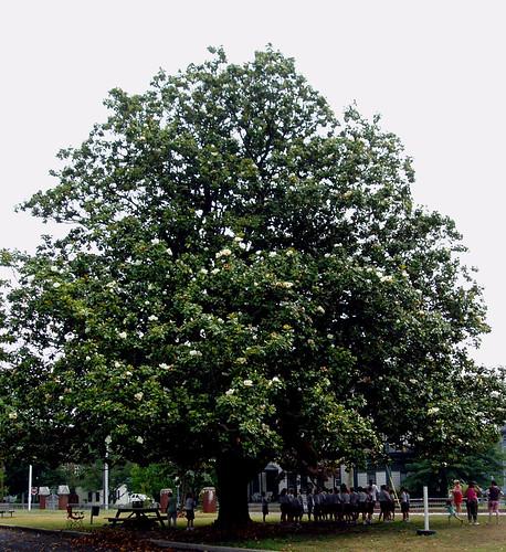 Tree Identification: Magnolia grandiflora - Southern Magnolia