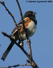 Spotted Towhee (Michael Woodruff) Tags: male bird birds washington birding spotted towhee spottedtowhee pipilomaculatus pipilo