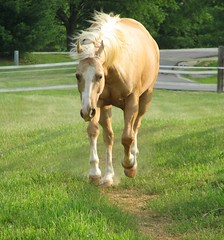 Sol Is Feelin' It! (Trish Overton) Tags: horse explore quarter frisky palomino mywinners