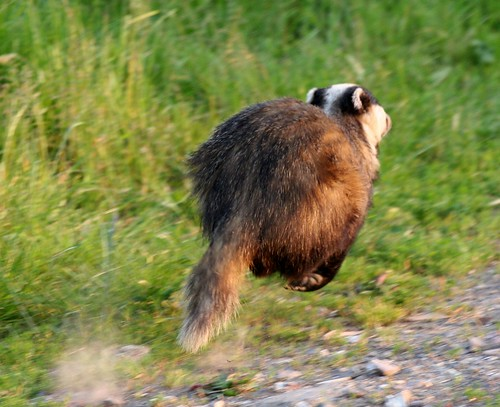 Flying Badger