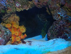 Sun Coral Under Arch (Paul J. Thompson) Tags: coral aquarium coccinea reef lps tubastrea featherduster reef55homepjt suncoral orangesuncoral