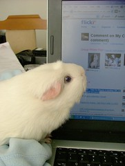 SoffyLaptop (bivoir) Tags: soffy laptop cmc commentonmycuteness guinea pig guineapig cavy cavies pet cute adorable