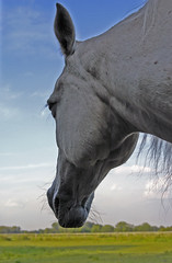 dreaming (bea2108) Tags: horses horse animal animals arab arabian arabianhorse arabianhorses interestingness346 i500