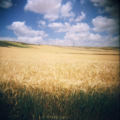 Oro comestible (Cℓea tecℓea) Tags: landscape holga valladolid dorado trigo castilla blat
