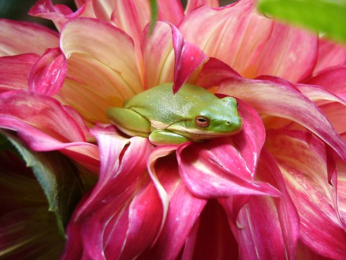 North American Green Tree frog | Flickr - Photo Sharing!