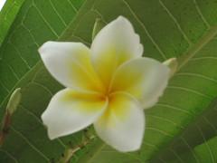 Chafa (Girish The Gambler) Tags: flower chafa