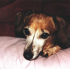 myGretch. (igKnition.) Tags: pink portrait dog pet pets cute love dogs girl face nose grey miniature paw eyes rust gretchen dachshund whiskers 13 gaze dachsie doxie