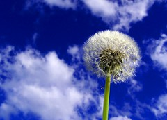 Full of wishes. (Earlette) Tags: blue sky white flower color colour wow garden ilovenature fluffy 2006 blow dandelion wish makeawish