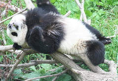 Oh what a day! (somesai) Tags: animal stand panda chest tian lookup tai tired faced nationalzoo endangered sick pandas meixiang mouthopen pandacub taishan bellyup dczoo butterstick