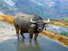 Buffalo (pierik) Tags: animal buffalo vietnam ethnic sapa hmong mong