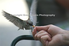 (Greg Adams Photography) Tags: travel summer favorite bird speed wow switzerland cafe hand feeding action zurich flight fast 2006 best patient sp lucky second instant moment myfavorite speedy capture delicate caught avian patience memorable splitsecond challengeyouwinner hhsc2000