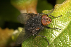 """Macro fly • <a style=""""font-size:0.8em;"""" href=""""http://www.flickr.com/photos/57024565@N00/176209871/"""" target=""""_blank"""">View on Flickr</a>"""