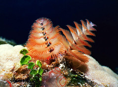Scuba Diving Macro Christmas Tree Worm