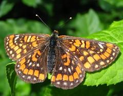 scarce fritillary - hypodryas maturna (Over 5 million views!) Tags: hungary butterflies insects fritillaries fritillary hungarian scarce scarcefritillary hypodryasmaturna