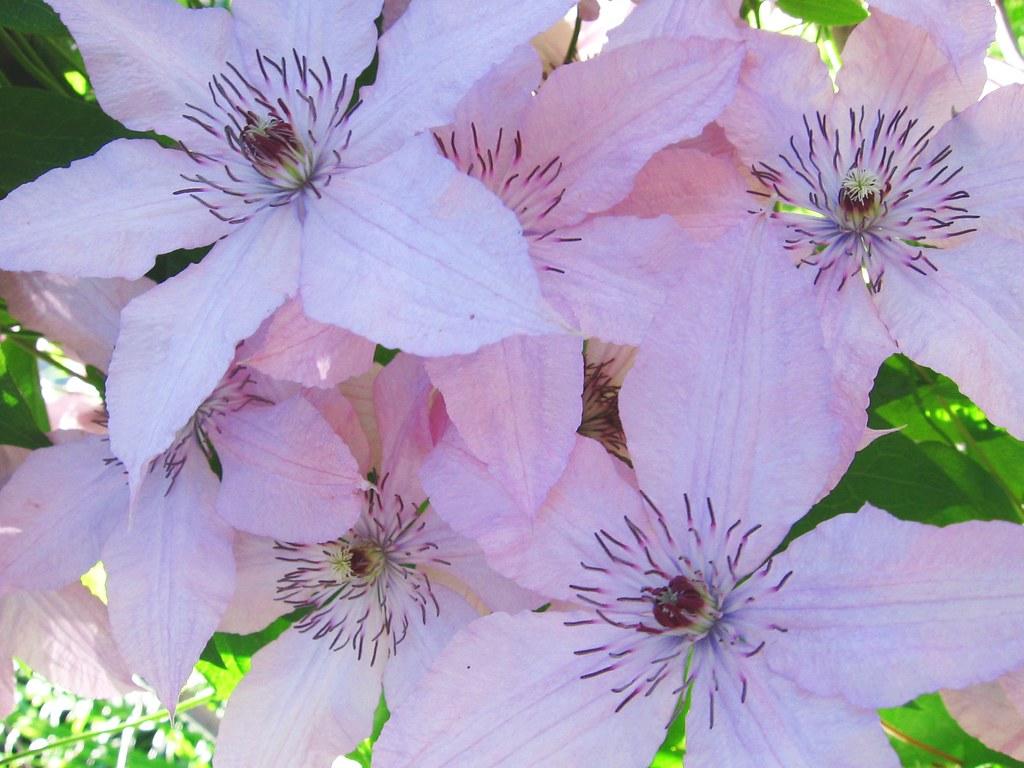 Lila flowers