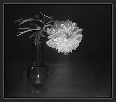 Peony In Vase (fcphoto) Tags: flowers light bw black flower blackbackground blackwhite bravo searchthebest fineart peony vase beautifulflowers i500 interestingness158 fivestarsgallery fcphoto fsgflowers abigfave artlibre explore12sep06