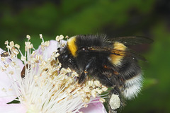 "Bumble Bee (bombus lucorum) • <a style=""font-size:0.8em;"" href=""http://www.flickr.com/photos/57024565@N00/177677657/"" target=""_blank"">View on Flickr</a>"