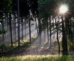 Sunbeams in the dark forest (Linda6769 (OFF)) Tags: sun mist tree grass forest germany woods ray july thuringia sonne spruce sunbeam sonnenstrahlen conifer nadelbaum konifere brden