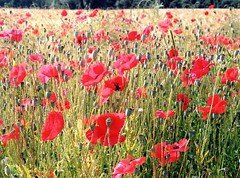 Roadside Poppies (Reciprocity) Tags: summer france film field barley june 35mm interestingness fuji superia interestingness1 200asa 2006 poppies oneyear nikkormat printscan doubs palantine franchecomte reciprocity