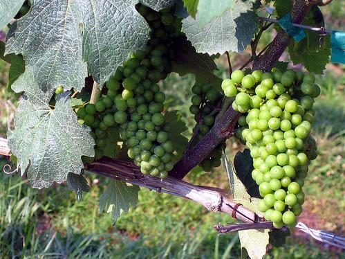 Vineyard - flckr - wharman
