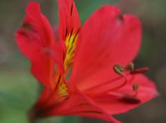 peruvian macro (Maki_C30D) Tags: red summer flower japan garden ilovenature lily peruvian alstromeria redperuvianlily