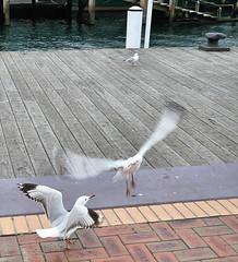 sea gulls fighting (yewenyi) Tags: seagulls bird birds geotagged fight seagull bricks sydney australia wharf nsw newsouthwales darlingharbour cbd fighting aus pylons syd centralbusinessdistrict pc2000 oceania auspctagged pctagged greatersydney geo:lat=33871088 geo:lon=15119918