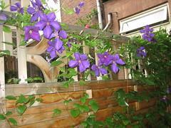 clematis Jackmanii (redbandita) Tags: flowers purple clematis climbers jackmanii