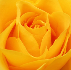 Beautiful invitation (cattycamehome) Tags: roses orange flower colour macro beautiful beauty rose yellow tag3 taggedout garden bravo tag2 all tag1 bright quote  invitation rights alive zesty sheridan oneyear reserved catherineingram july2006 flowerotica gtaggroup goddaym1 gtagroup abigfave cattycamehome allrightsreserved top20yellow flickrdiamond