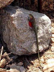 Ikaria 265 (isl_gr (Mnesterophonia)) Tags: hiking tail beautyconcealed ikaria icaria  aegean trails lizard greece signage balisage hikingikaria     greentailedlizard theroundofrahesonfoot
