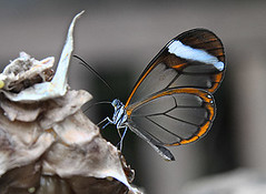 Glass Wings (Steve Stone) Tags: butterfly bravo feeding transparency translucent transparent translucency glasswing glasswings specinsect bratanesque thankyouforyourmosthilariouscommento