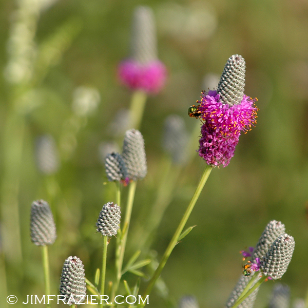 Purple Prairie Clover at Trempealeau National Wildlife Refuge