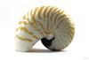 Nautilus #3 (Franco Gavioli) Tags: 2016 fragavio francesco gavioli canoneos600d canonef100mmf28macrousm manfrotto785b scanlio lightbox stilllife augusta sicilia sicily gasteropode gatrophod shell conchiglia mare sea nautilus