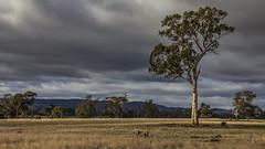 Aussie farmland (NettyA) Tags: 2013 canoneos55d navarre vic victoria clouds country countryside dry eucalyptus farm farmland rural tree australia breathtakinglandscapes