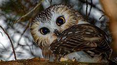 Northern-Saw-Whet-Owl (Aria (RJWarren)) Tags: nature wildlife wild bird avian fauna raptor owl midwest iowa blackhawkcounty canon t3i tamron16300mm northernsawwhetowl aegoliusacadicus winteringbird small cute bigeyes