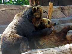 This is one bear who loves to give bear hugs. (kennethkonica) Tags: people usa brown color male men birds animals america fun zoo midwest sweet outdoor indianapolis pair teeth atmosphere indiana together paws claws canonpowershot brownbears indianapoliszoo cuddletime bearable bearhugs