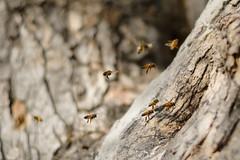 Lugares secretos (emiliokuffer) Tags: naturaleza macro tree nature work arbol trabajo nikon hole flight bee abeja beehive swarm vuelo panal hueco enjambre alberdi