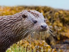 Otter (Chas Moonie-Wild Photography) Tags: life wild scotland whiskers otter chas moonie lutra