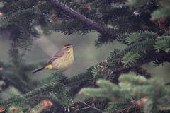 Palm Warbler (jd.willson) Tags: birds island bay birding maine palm jd warbler penobscot willson islesboro jdwillson