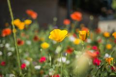 Série Fleur 2015 - 8 (Macsous) Tags: alpes lyon fleur fleurs flower flowers gazon herbe herbes japonais jardin jaune mauvaise rhone solaize tige verdoyant vert