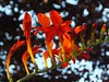 Crocosmia (BriarCraft) Tags: day182 day182365 365the2015edition 3652015 1jul15