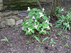NPS Brecksville 5-6-15 003 Trillium grandiflorum (White Trillium) (fcom4155) Tags: ohio plant native society northeastern npsbrecksville5615 nativeplantsocietyofnortheasternohio