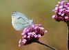 Green-veined white (Rick & Bart) Tags: nature canon butterfly insect kleingeaderdwitje vlinder smörgåsbord greenveinedwhite pierisnapi rickbart thebestofday gününeniyisi rickvink eos70d