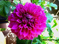 Pink makes me Happy (RenateEurope) Tags: pink dahlia flowers catchycolors flora quintaflower 2015 awesomeblossoms renateeurope ipadair2
