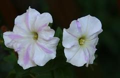 2 Petunias (Bella Lisa) Tags: petunias wah hereios
