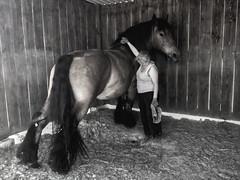 (Umour) a chatouille ! - (Umour) That tickles! (Gypsy Cob) Tags: horses blackandwhite bw horse monochrome cheval blackwhite ledefrance noiretblanc 500views 500 77 iledefrance each equine mane chevaux drafthorse seineetmarne ceffylau trait crin duagwyn umour eich heavyhorse capall crinire blackwhitephotos trekpaard chevaldetrait equinephotography over500views ardennais zugpferd capaill kezeg equinephotographer traitardennais duhagwenn umourdelavue dubhagusgeal