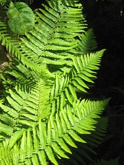 Fern Leaves (shaire productions) Tags: plant abstract fern green nature leaves garden pattern image picture growth photograph vegetation