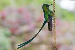 Colibr (Jos M. Arboleda) Tags: canon eos colombia hummingbird jose ave 5d colibr arboleda markiii trochilidae ef70200mmf4lisusm trochilinae aglaiocercuscoelestis coconuco josmarboledac