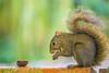 No caminho da noz (Vitor Y) Tags: natureza nature esquilo selvagem