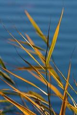 Roseaux - Reeds (pablo 2011) Tags: collectionnerlevivantautrement ngc nikonflickraward nikonpassion nikond7100 nature toulouse garonne sigmalenses plant plante planteaquatique roseau reeds